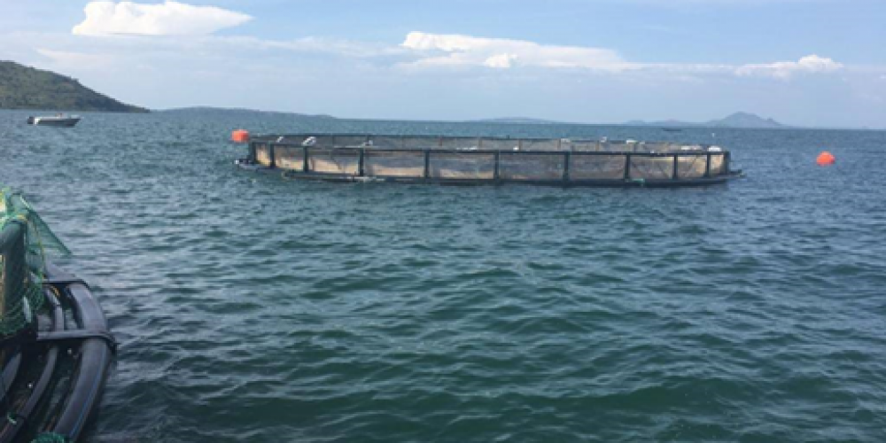 WISHH sent aquaculture expert Karen Veverica to work with Victory Farms, located on Lake Victoria in Kenya. Victory Farms is the largest fish feed user in Kenya and one of the largest fish farms in East Africa. In Kenya, feed production is insufficient to meet local demand. The farm primarily raises Nile tilapia in cages like the one shown here. Photo Credit:  Karen Veverica